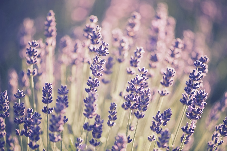 bigstock-Lavender-bushes-closeup-on-sun-173892148_CFP